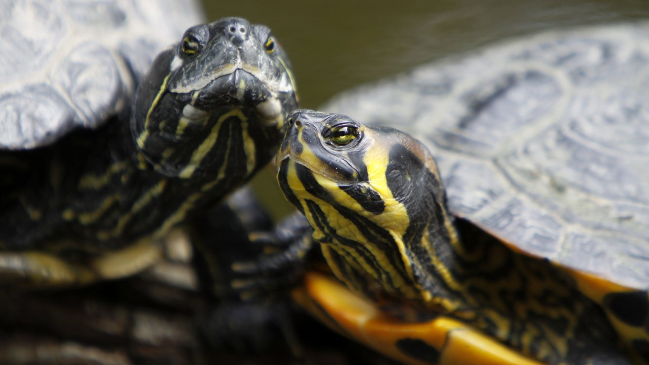"""Эмбрионы черепах сами """"выбирают"""" свой пол"""