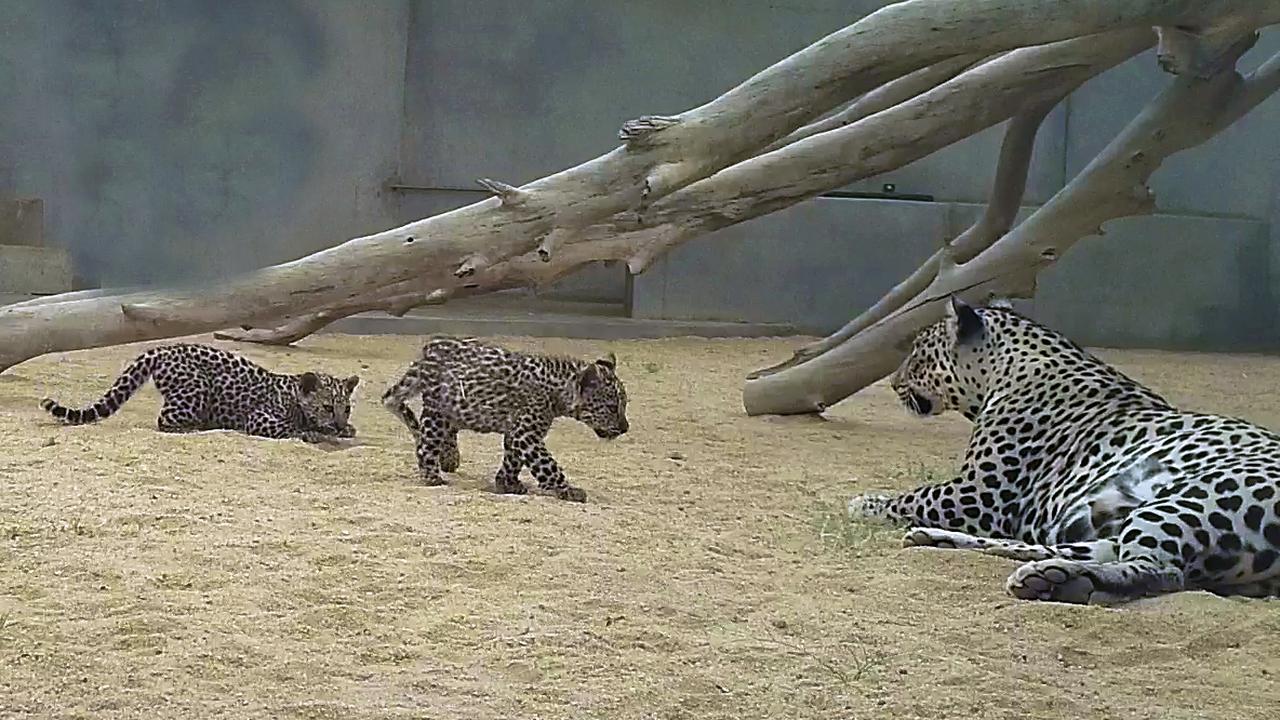 В Саудовской Аравии родились два детёныша исчезающего подвида леопарда