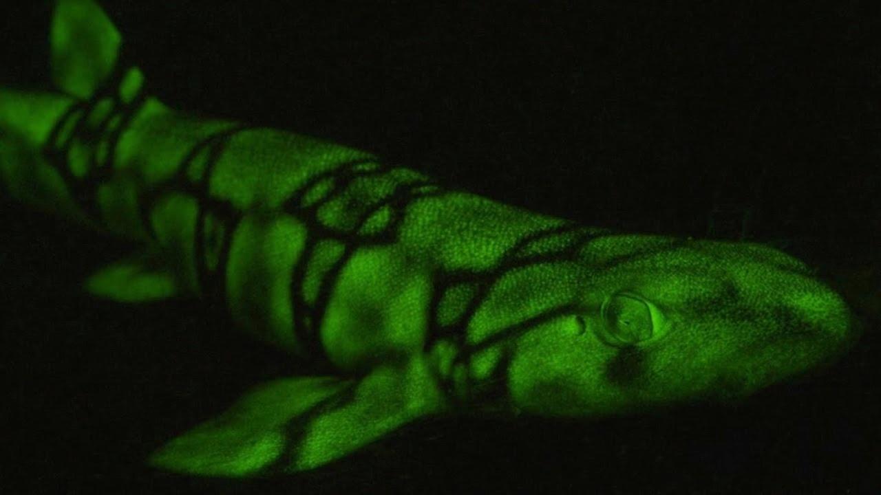 Глубоководные акулы помогли открыть новый механизм свечения животных