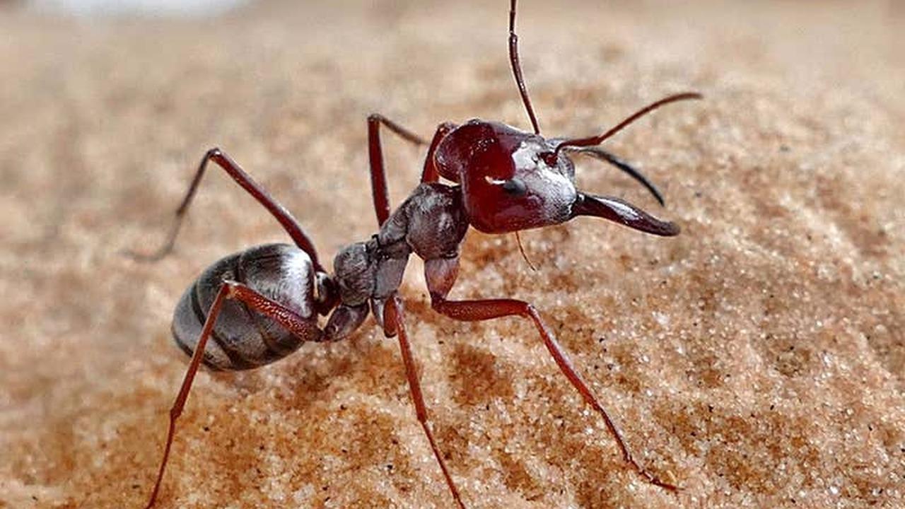 Муравьи из Сахары оказались одними из самых быстрых существ на планете