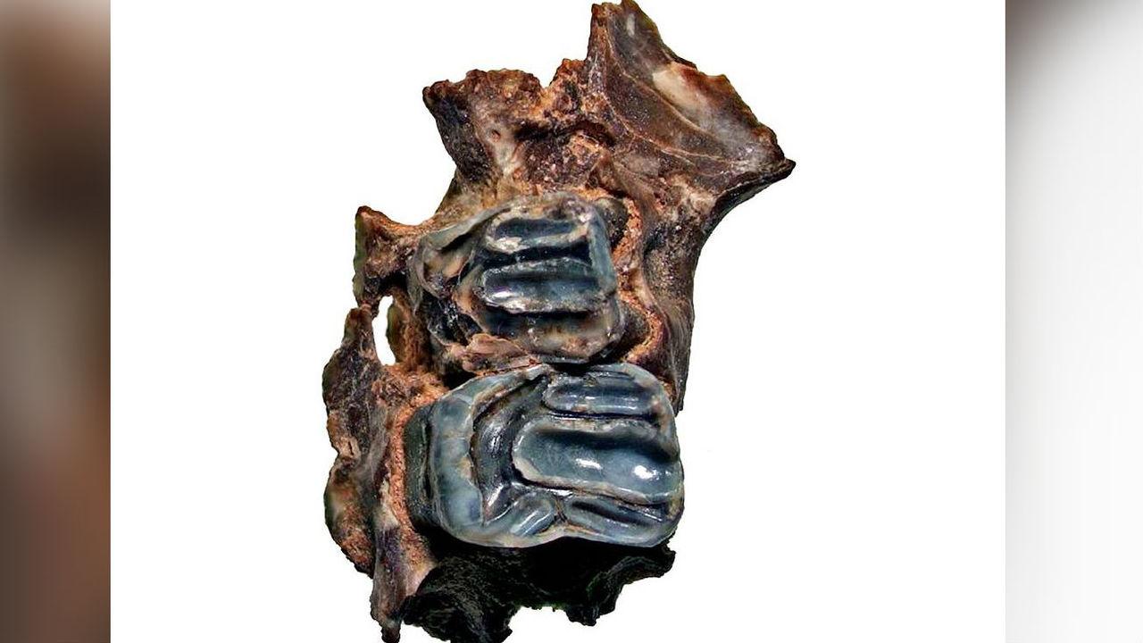В Приморье нашли останки гигантских вымерших белок-летяг