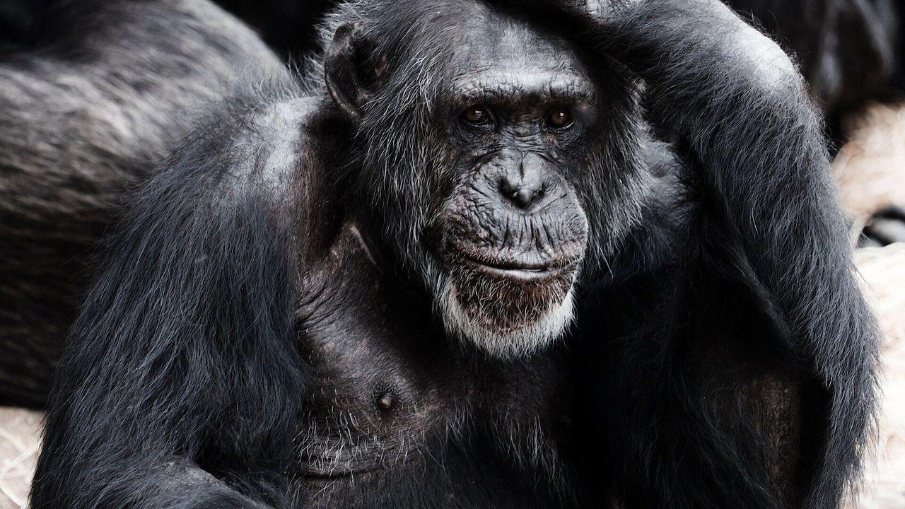 """Человекообразные обезьяны прошли тест на """"теорию разума"""""""
