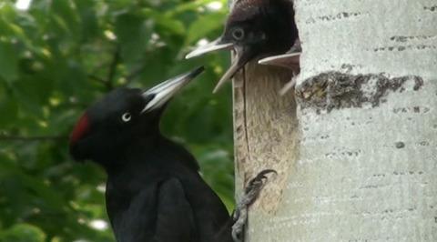 Страна птиц. Лесные стражники. Дятлы