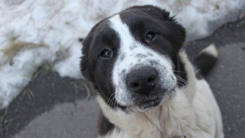 В Забайкалье собака стала мамой для козленка