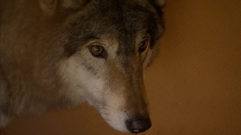 Местное время. В Подмосковье поймали волка, наводящего ужас на местных жителей