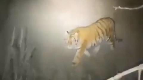 Видео из Сети. В Приморье тигр загнал охотников на дерево