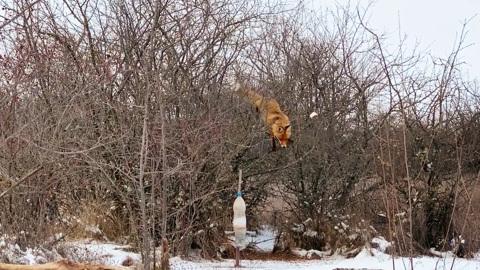 ЧП. Забравшаяся за салом на дерево лиса попала на видео