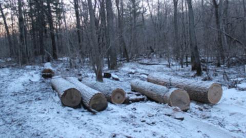 Трое жителей Приморья вырубили леса на 38 миллионов