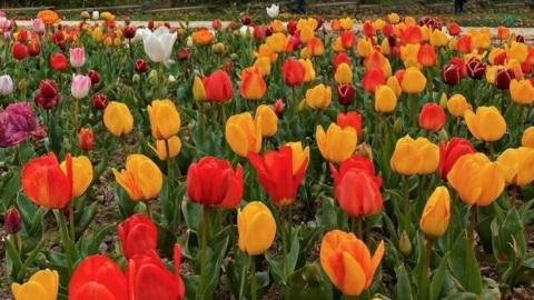 Парад тюльпанов открылся в Никитском ботаническом саду
