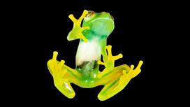 Учёные разгадали секрет зелёной окраски лягушек, имеющих прозрачную кожу.