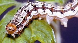 Гусеница Helicoverpa zea, гроза сельхозполей США.