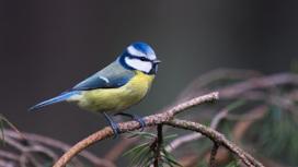 Лазоревка, или синяя синица (Cyanistes caeruleus).