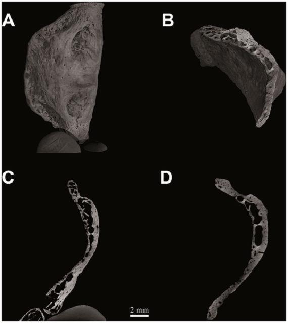 Подъязычная кость неандертальца из пещеры Кебара (компьютерная томография)
