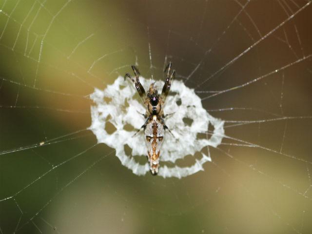 Самка C. ginnaga использует мимикрию для защиты и охоты