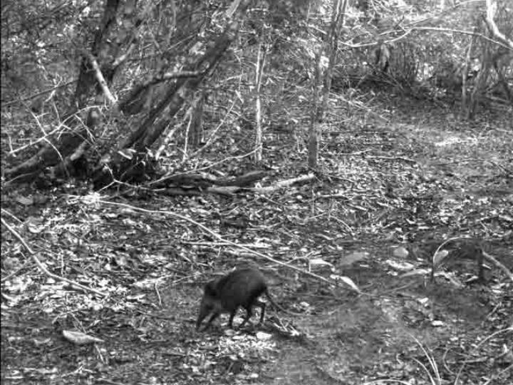 Слоновая землеройка в лесах Кении
