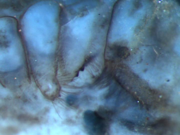 Ископаемое паукообразное возрастом в 410 миллионов лет