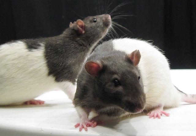 У грызунов появляются очаги воспаления мозга после употребления пищи, богатой жирами и углеводами