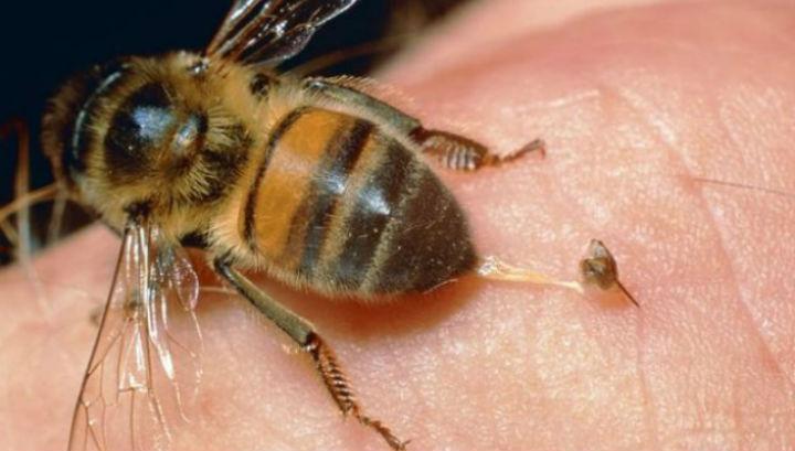 Больнее всего пчела кусает в лицо и гениталии