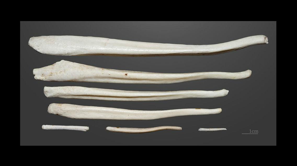 Считается, что человек в ходе эволюции утратил бакулюм. На снимках пенисные кости бурого медведя из коллекции Природоведческого музея Тулузы.