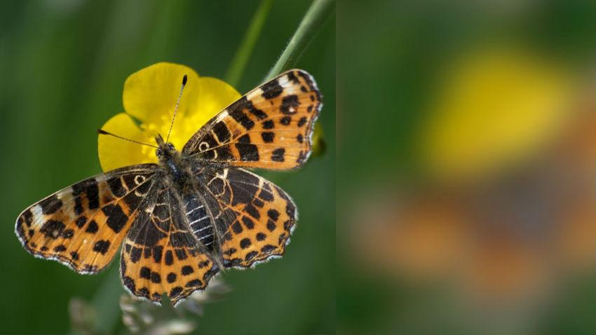 Изображение слева демонстрирует, как видит крылья бабочек сойка, а справа √ сами чешуекрылые.