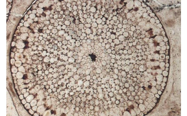 Окаменелые останки одного из древнейших растений (Rhynia gwynne-vaughanii) возрастом 400 миллионов лет; найдены в Шотландии.