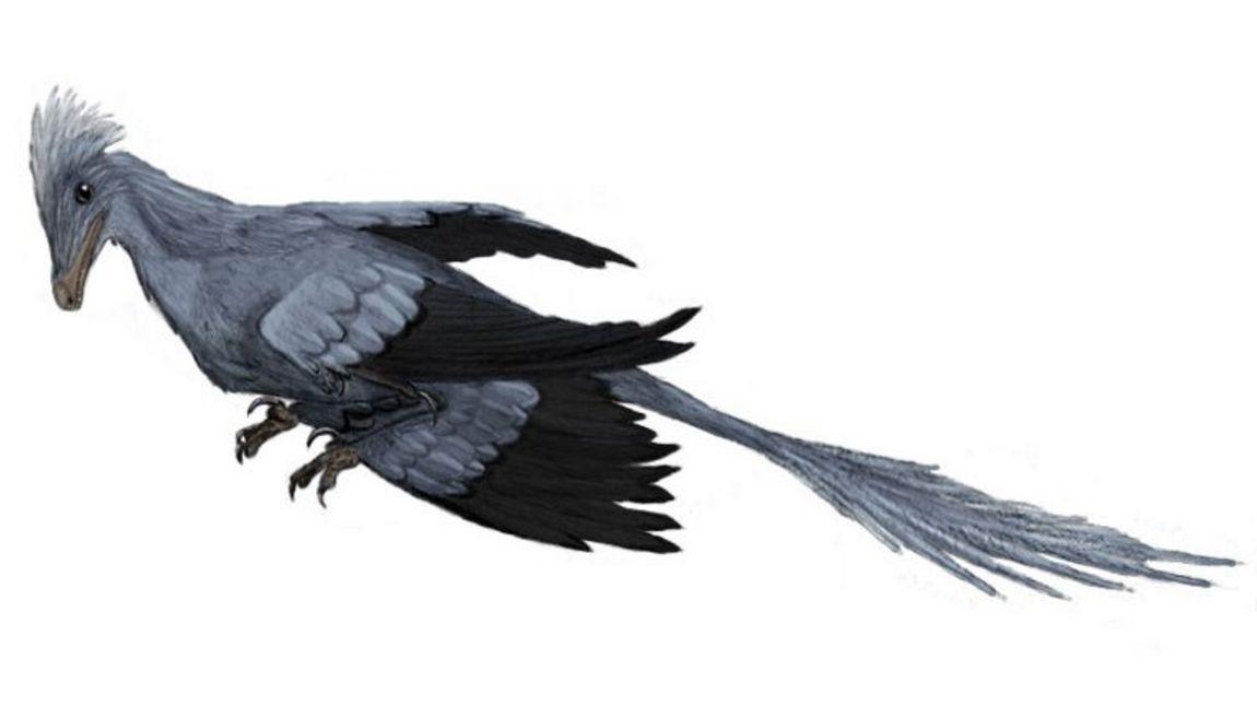 """Микрораптор глазами художника. Палеонтологи окрестили его """"четырёхкрылым динозавром"""", так как предполагается, что он мог планировать, задействуя все четыре конечности."""