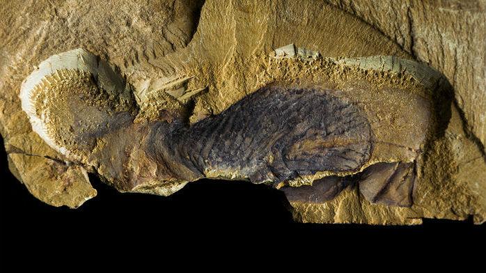 Окаменелость одного из 200 видов Stromatoveris.