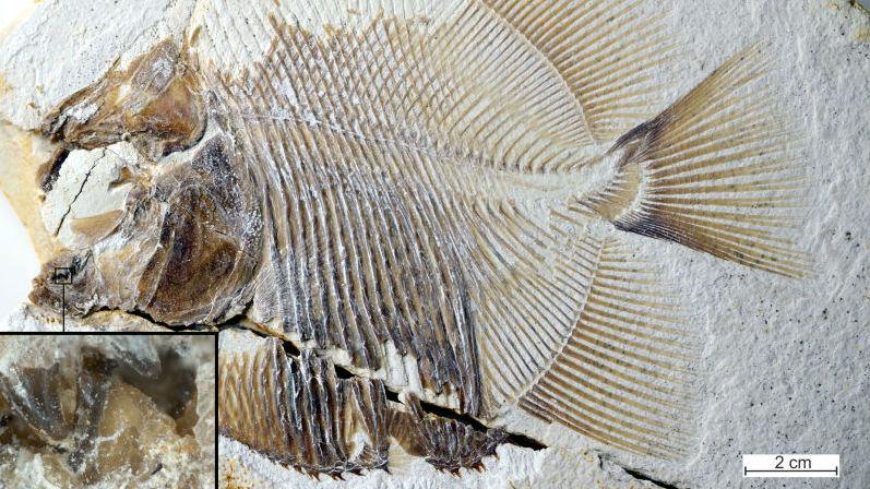 Почти полные окаменелые останки Piranhamesodon pinnatomus.