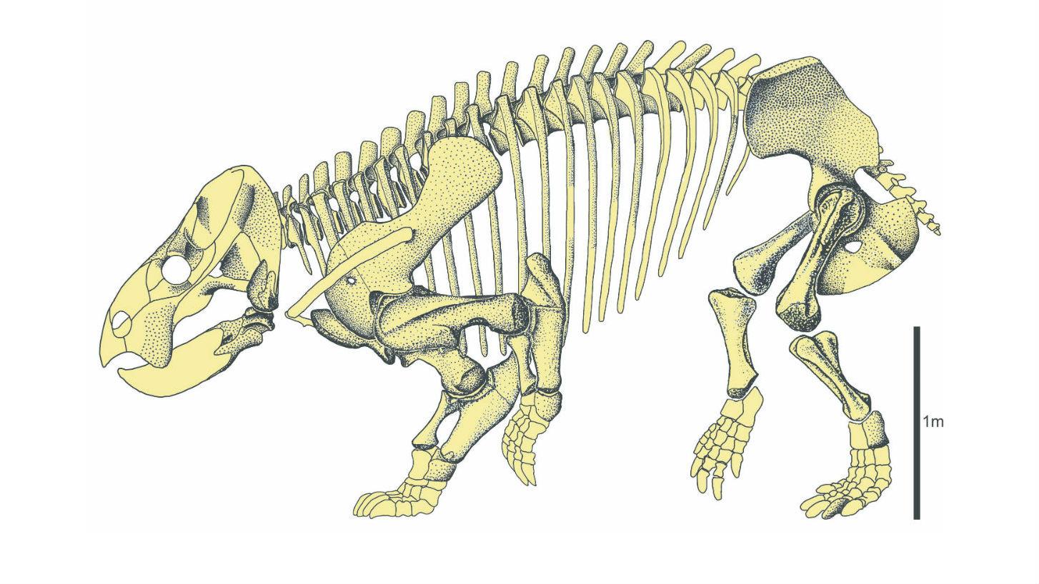 Скелет древнего дицинодонта Lisowiciz bojani.