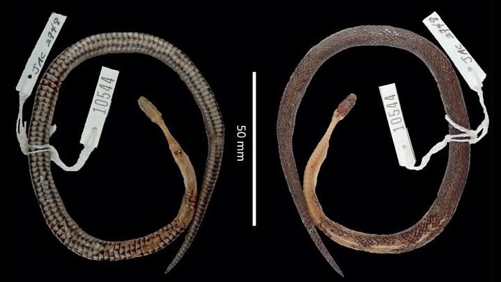 Останки самца Cenaspis aenigma, найденные внутри другой змеи.