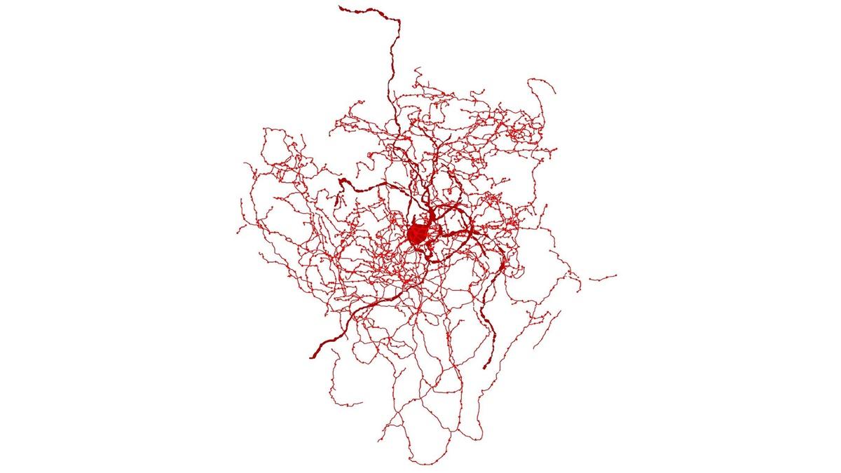 Цифровая реконструкция нейрона шиповника.
