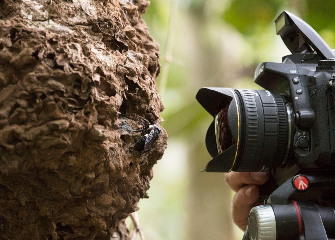 Фотограф Клей Болт (Clay Bolt) делает снимки гигантской пчелы Уоллеса в дикой природе.