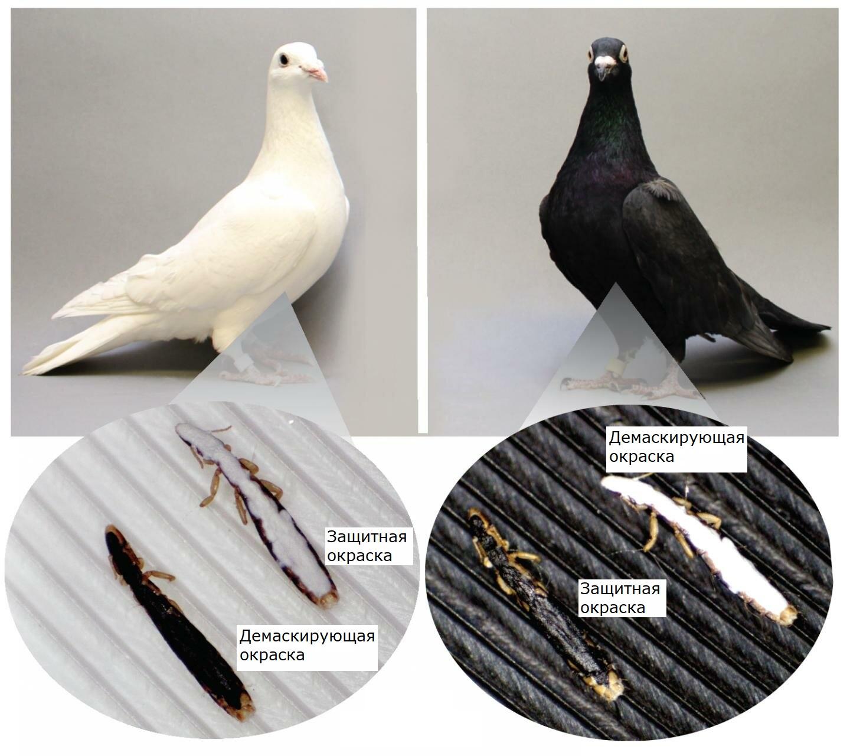 Искусственно окрашенные насекомые чаще выживали при защитной окраске и погибали при демаскирующей.