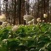 В Адыгее появился новый вид первоцвета – ризейский подснежник