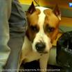 В России предложили ввести штраф за выгул опасных собак без намордника