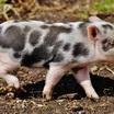 В многоэтажке под Москвой обнаружили свинарник