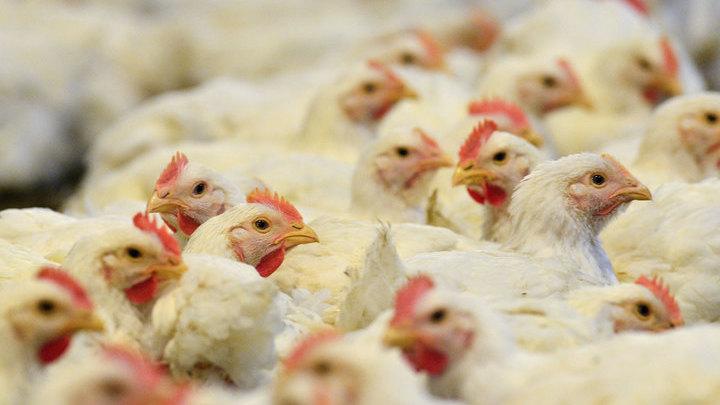"""Птичий грипп может повторить сценарий """"испанки"""""""