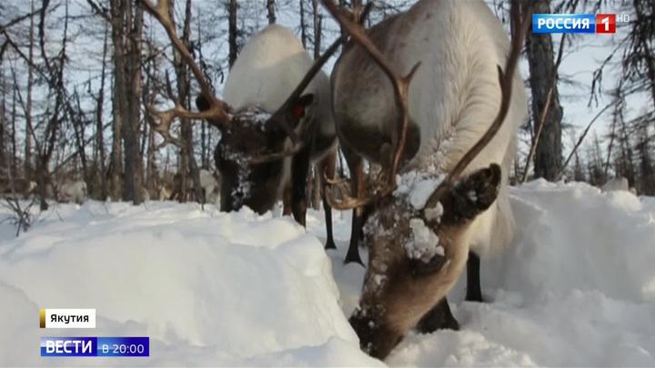 В Якутии считают диких оленей