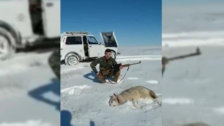 Подстреленный волк набросился на охотника