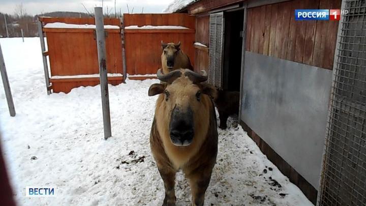 В Московском зоопарке родился детеныш сычуаньского такина