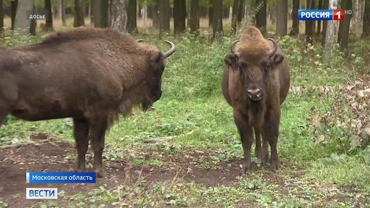 Секс зубры быки олени