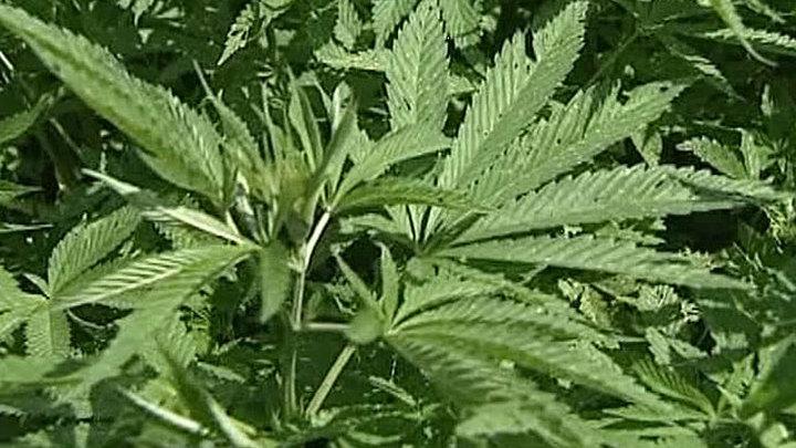 От чего лечебная марихуана как марихуана влияет на эрекцию