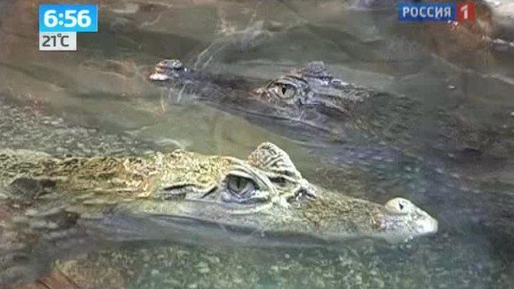 Сочинские крокодилы ждут прибавления