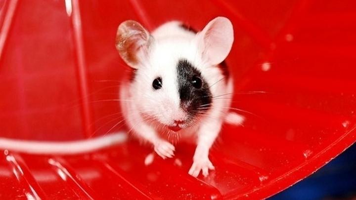Эксперименты показали, что у 50% мышей в течение восьми месяцов не было выявлено никаких признаков метастазирования опухоли