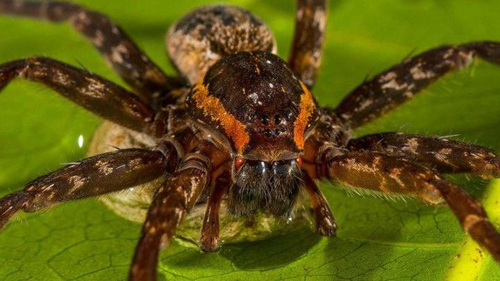 Новый вид паука обитает на территории Австралии