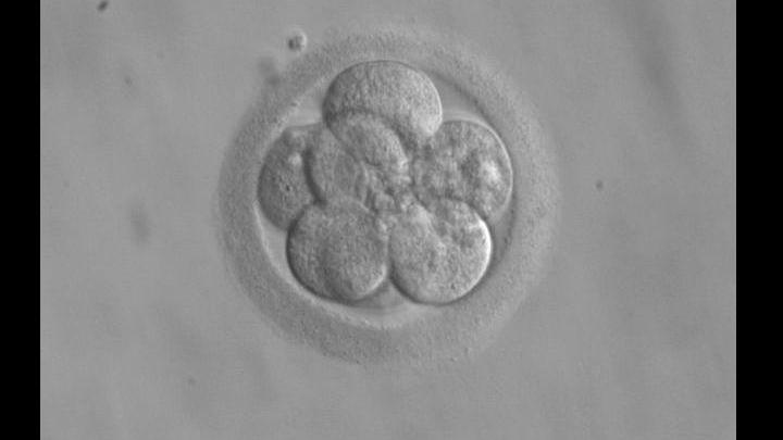 Трёхдневный эмбрион человека