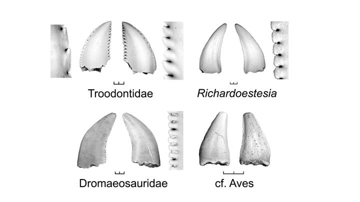 Учёные создали и проанализировали огромную базу данных, состоявшую из информации о 3000 зубов птицеподобных динозавров