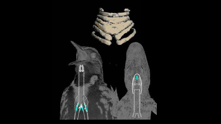 Древние вегависы схожи с утками и гусями.
