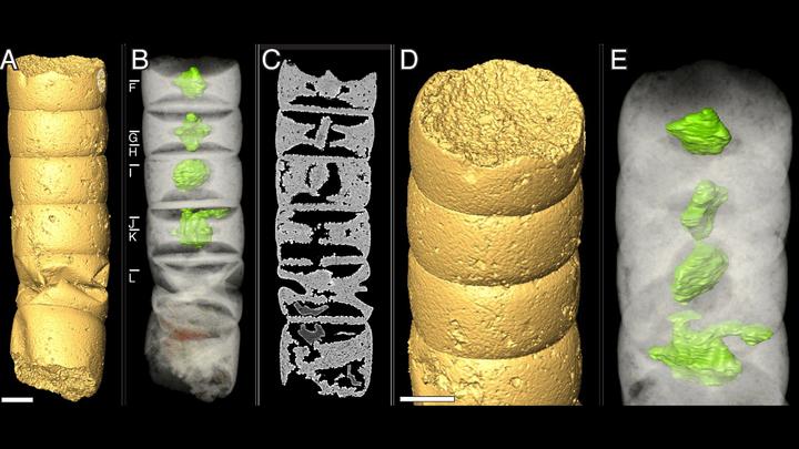 Фрагменты водоросли вида Rafatazmia chitrakootensis. Зелёным цветом выделены предполагаемые хлоропласты.