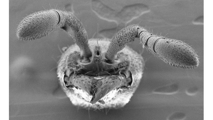 """В усиках муравьёв есть специализированные центры обработки информации, которые после """"отключения"""" гена orco просто исчезли."""